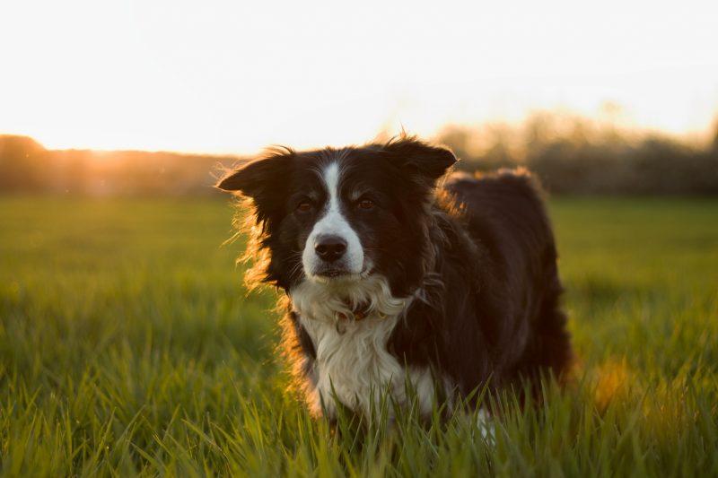 Adobe Stock 268493006 Farm dog