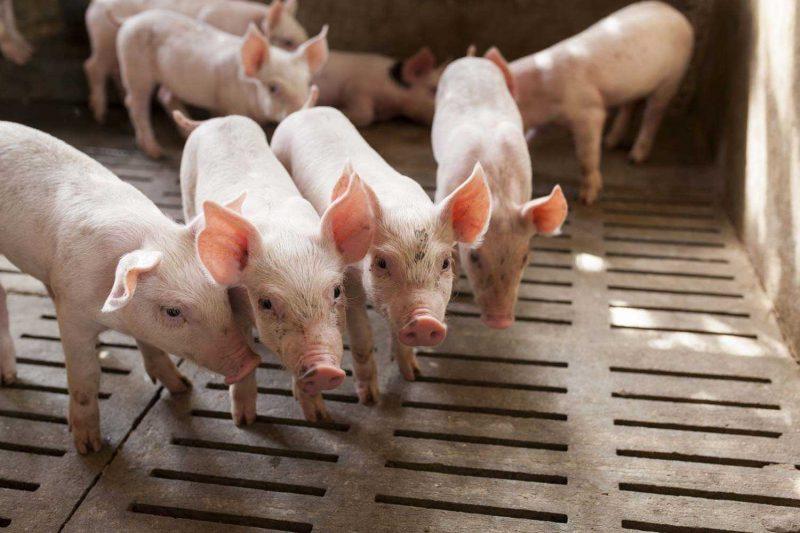 Animal Nutrition  Farrowing Pigs