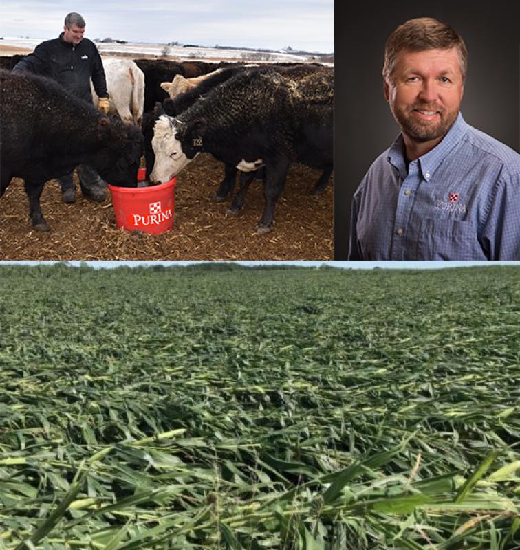 Cows and cornstalks