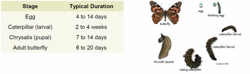 Stages of Thistle Caterpillar