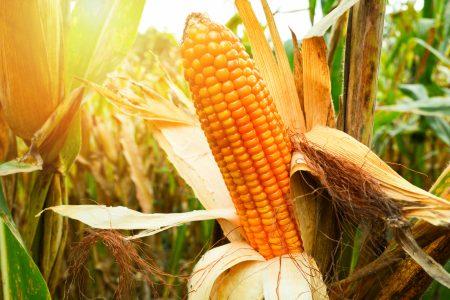 Adobe Stock 249416327 Corn Waiting for Harvest