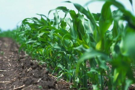 Agronomy Early Corn