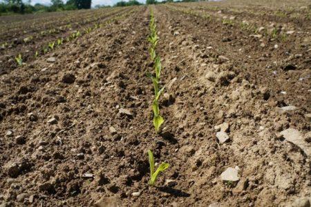 Corn Emergence 2