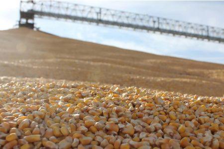 Grain Corn Pile Closeup