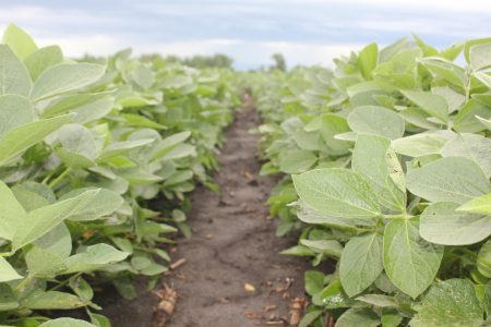 July Soybeans close up 1