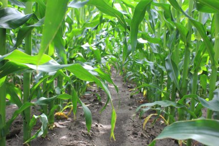 July corn