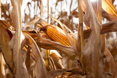 Scouting Harvest 9