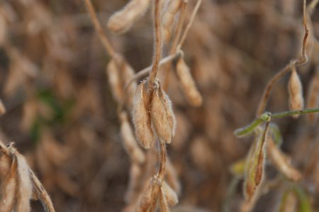 Soybean Harvest Close Up 2016