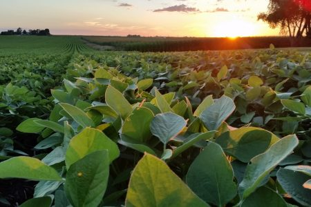 Soybean Field Sunshine