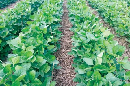 Soybeans with cover crop mulch from Jack Boyer farm showing weed control benefits 1 1024x768