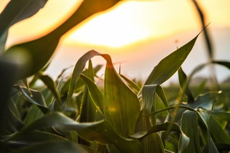 Agriculture Cereals Corn 1242 Pixels Free To Use