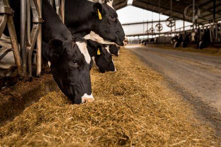 Close up dairy feeding