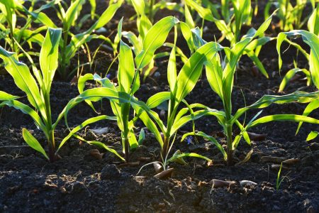 Corn 96770 Pixels Free To Use