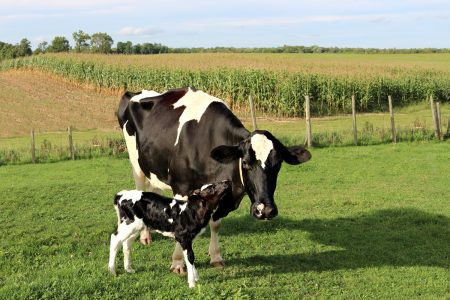 Diary Calf nuzzles mother standing in green pasture