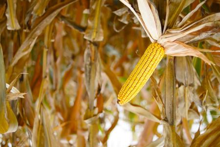 Inverted corn