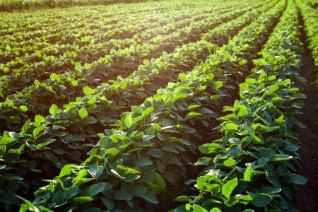 Shutterstock 526530454 Soybean Fields