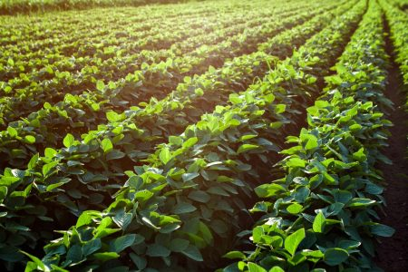 Shutterstock 526530454 Soybean Fields