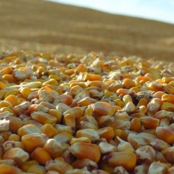 Corn For Grain Advisors Invite 1024X341