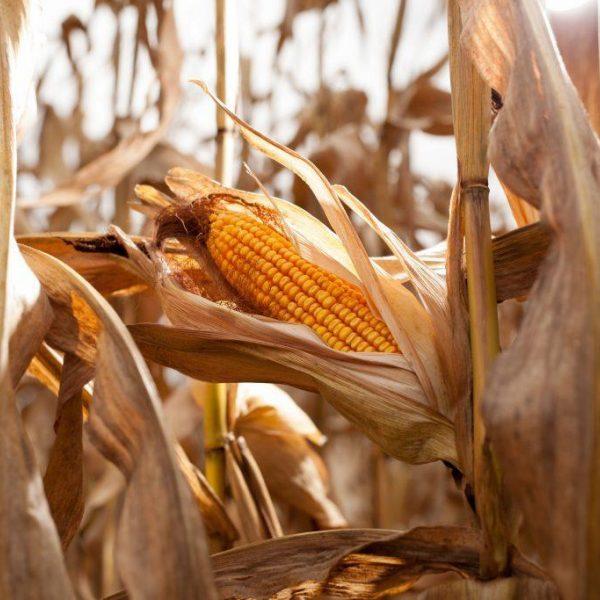 Corn Podcast Image