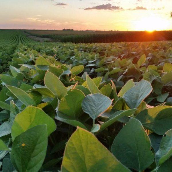 Soybean Field Sunshine 1024X576