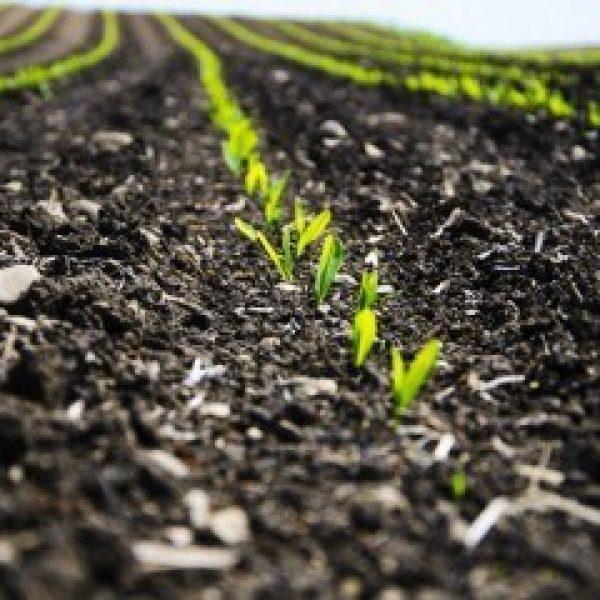 Corn Emerging 360X240