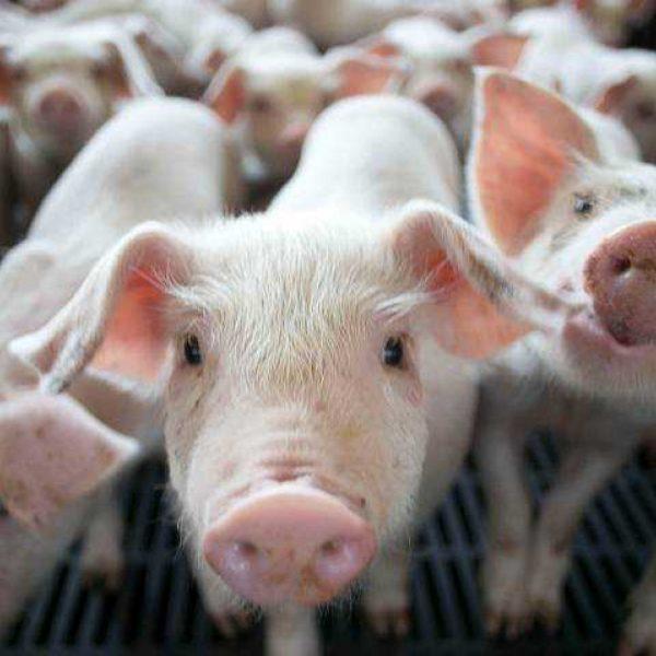 Pigkeyframe