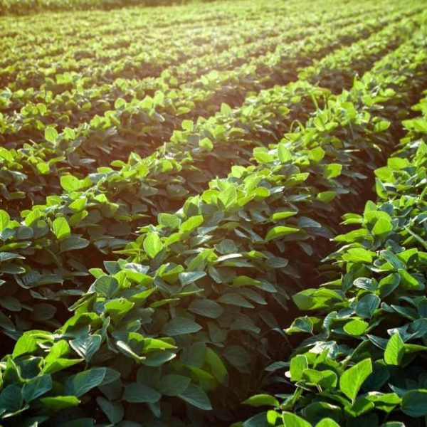 Shutterstock 526530454 Soybean Fields 1024X683