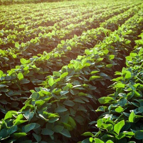 Shutterstock 526530454 Soybean Fields 1024X683